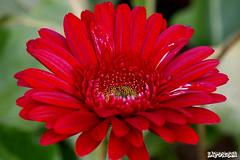 Before the Frost Came (Vie Lipowski) Tags: flower gerbera ih excellence naturesfinest supershot fineartphotos anawesomeshot top20red excapturemacro excellentsflowers mimamorflowers