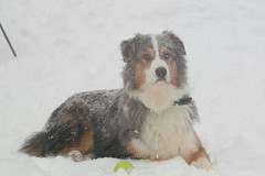 Snow dog (carterse) Tags: dog dogs friend cancer bitch goodbye australianshepherd shepherds bluemerle redtri blacktri bluemerleaussie dogcanine lymphosarcoma bluemerleaustralianshepherd australianshepherdaustralianshepherd jumpbluemerle
