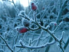 Hagebutten mit Raureif (NPPhotographie) Tags: winter macro ice nature germany frost branch cologne oberberg hagebutte naturesfinest blueribbonwinner golddragon abigfave plat