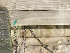Kingfisher by Surrey Water