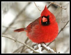 The Snowflake Cardinal (nature55) Tags: snowflake winter snow nature birds outdoors wildlife aves northerncardinal naturesfinest blueribbonwinner nature55 platinumphoto avianexcellence ilovemypic wtmwgroupiconwinner goldstaraward platinumsuperstar