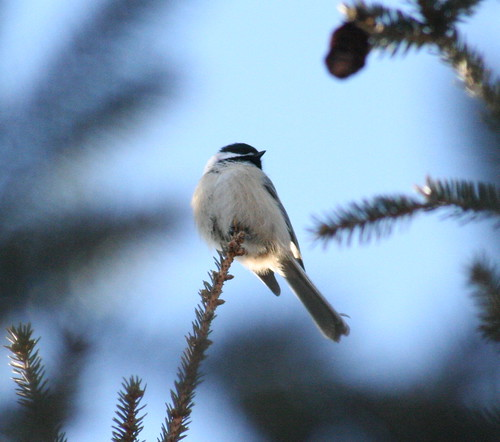 black-capped chickadee 04