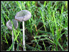 do.the.dew! (the.serial.chiller) Tags: wallpaper macro nature mushroom water grass dewdrops dew waterdrops