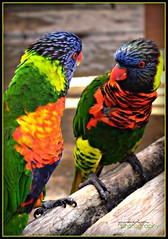 Parrots Conversing (youneverknowphotography) Tags: california wood summer beach colors birds canon outside photography zoo aquarium photo colorful long pacific bright outdoor beak feathers vivid southern multicolored parrots picnik claws 2007 g7