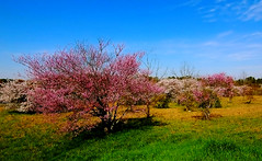Springtime comes to the South (RMac_Photography) Tags: pink blue sky tree green grass sunshine d50 landscape geotagged nikon south wideangle rmac bradfordpear springime