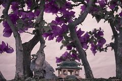 A House on a Hill (womble10791) Tags: house canon temple eos miniature purple bougainvillea bonsai split tone canonefs60mmf28macrousm 40d