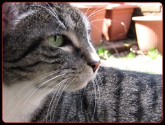 """I have the greatest profile in the world! (""""alley cat photography') Tags: white eye cat grey feline kitty clay claypots seeingeyetoeye bestofcats peanutthecat callmegoddess sunnybutcoldday outinthegardentogether"""