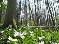 ants view on a German forest (**MIKA**) Tags: canon buchenwald spring jena vision anemone frhling biodiversity g7 buschwindrschen powershotg7 canonpowershotg7 mikahuettner