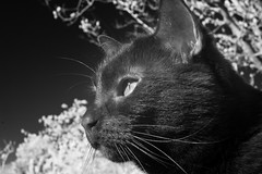 Eleanor IR Uno (Robert Withers) Tags: cat blackcat tabby