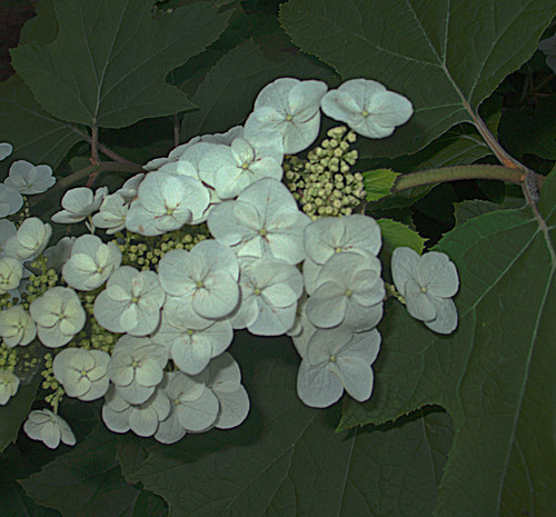 Fig Blossoms