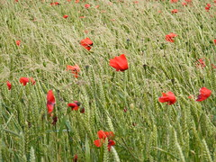 Wild Poppies in the Cotswolds (lorna_holder) Tags: cotswolds poppies poppyfield