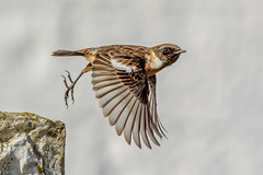 DSC4755 Stonechat.. (jefflack Wildlife&Nature) Tags: stonechat stonechats chats birds avian animal wildlife wildbirds songbirds gorse countryside coastalbirds moorland nature