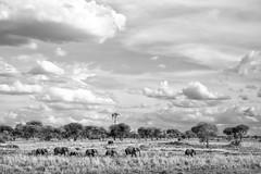 Elephants in a Line (virtualwayfarer) Tags: tarangirenationalpark tarangire nationalpark wildlife animals wild safari adventuresafari photosafari canon dslr decembersafari tanzania africa tanzanian blackandwhite blackandwhitephotography subsahara subsaharanafrica eastafricariftvalley riftvalley elephant mammal elephants wildelephant beautifulelephant herd family familyofelephants africanelephant endangered dramaticlandscape opensky wideopen nature line elephantsinaline marching natgeoinpsired nationalgeographicinspired alexberger safariphotos adventuretravel solotravel travelinspiration photographyinspiration