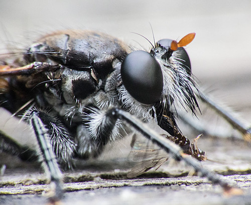 Robber fly (with prey)