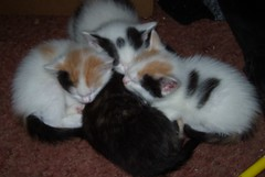 A Four Pack (..Angelus..) Tags: kittens cuddly huddle brood