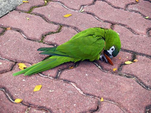 Parakeet II