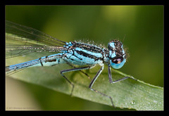 Dewdrops (Coenagrion puella) (Moneycue) Tags: blue macro nature netherlands closeup canon bug insect dewdrops spring europe may explore waterdrops damselfly waterjuffer mpe65 azuredamselfly coenagrionpuella explored watersnuffel waitingforthenight azuurwaterjuffer moneycue