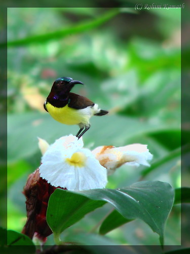 Purple Rumped Sunbird-M