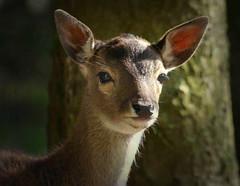 young Fallow Deer (yorkiemimi) Tags: nature animal wildlife deer ultimateshot qualitygold allofnatureswildlifelevel1 allofnatureswildlifelevel2 allofnatureswildlifelevel3 allofnatureswildlifelevel4
