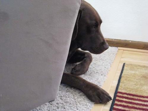 Sad Labrador Puppy