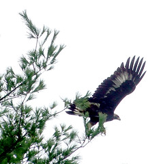 After release, the golden eagle landed briefly in a white pine