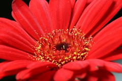 Red Gerbera (Jay Bees Pics) Tags: christmas flowers top20flowers anawesomeshot aplusphoto top20red onlythebestare macromix top20everlasting rotrossorougerood