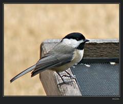 my little chickadee (mimbrava) Tags: bird bravo mimbrava chickadee arr allrightsreserved carolinachickadee poecilecarolinensis poecile featheryfriday avianexcellence mimbravastudio mimeisenberg