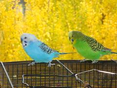 freddy & jib (ames sf) Tags: birds budgie 2007