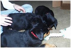 rope2 (muslovedogs) Tags: dogs puppy rottweiler teaara zeusoffspring