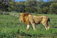 Young male lion (Arno Meintjes Wildlife) Tags: africa wallpaper nature animal bush wildlife lion safari bigcat predator rsa carnivore pantheraleo parkstock genuspanthera arnomeintjes