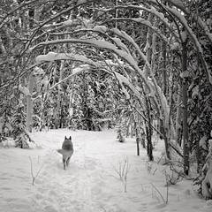 K (eyebex) Tags: trees winter blackandwhite bw dog snow cold k animal saveme5 arch deleteme10 path arches trail save10 savedbythedeltemeuncensoredgroup squarecrop burden