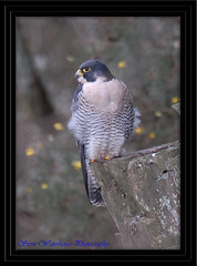 ADULT MALE PEREGRINE FALCON (spw6156) Tags: copyright male woods adult steve falcon nationaltrust falcons raptors waterhouse peregrine plymbridge cannquarry natureselegantshots spw6156 stevewaterhouse plymperegrineproject plymbridgeperegrinefalcons copyrightstevewaterhouse