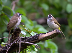 Yellow Vented Bulbuls (Rey Sta. Ana) Tags: bird birds wildbirds wild philippines avian wildlife palawan candaba manila mantarey rey staana philippine philippinebirdphotography kites eagles subic bay ternate avianphotography philippinebirds bestimages bestshots ducks coucals sunbird waterbirds waders heron rail reystaana reysa coron birdsinflight bif