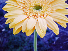 Das antigas... (Ale Marques Fotografia) Tags: flowers blue flores flower macro green water colors yellow gua de purple flor olympus gotas gerbera catchy amarela caule x760