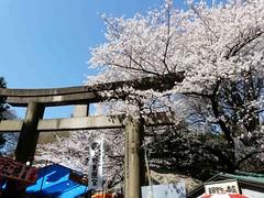 uenosakura (23) (davidjapan) Tags: park cherry ueno blossom sakura hanami kirschbluete