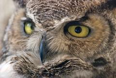 Great Horned Owl (wplynn) Tags: arizona bird great owl greenvalley nesting horned specanimal wildbirdsunlimited wbu arizonaelite