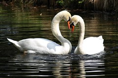 Love is in the air (Marrrcelll) Tags: bird love swan heart denhaag romance swans thehague cygne vogel muteswan cygnusolor zwaan schwne zwanen knobbelzwaan hckerschwan ockenburgh parkockenburgh cygnemuet marrrcelll