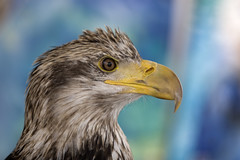 American Bald Eagle (peasap) Tags: bird eye nature animal sandiego eagle sunday flight beak feathers young bald american april predator haliaeetusleucocephalus avian rescued balboapark earthday americanbaldeagle talons