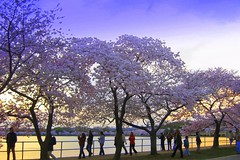 Sakura Sunset Stroll (Kurlylox1) Tags: pink flowers trees sunset sky people water petals spring colorful walk silhouettes sakura cherryblossoms stroll yoshino tidalbasin wasingtondc blueribbonwinner supershot anawesomeshot impressedbeauty diamondclassphotographer flickrdiamond goldstaraward