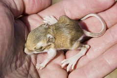 Baby Kangaroo Rat (The Horned Jack Lizard) Tags: baby cute mammal rodent rat birth rats newborn mammals rodents kangaroorat kangaroorats