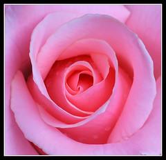 a pink one (R.Duran) Tags: madrid pink españa flower rose spain nikon espanha europa europe flor rosa espagne d300 nikon105mmf28 ltytr2 ltytr1