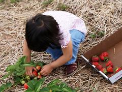 picking strawberries (slider72) Tags: fruits fruit strawberry child farm sony strawberries kind pickyourown frucht bauernhof erdbeere erdbeeren obst fruechte pfluecken minoltaamount alpha200 200 sonyalphadslra200 thomasrebler slider72 sony200