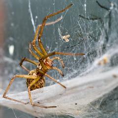 I Spider Spider