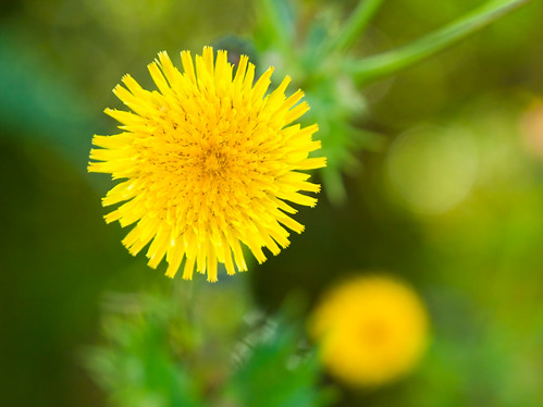 Prickly Sow Thistle 鬼苦苣菜