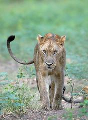 Young Lion, South Luangwa, Zambia