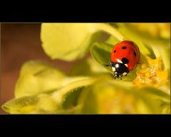 Coccinelle au soleil... (Teolc Eniger) Tags: red macro green nature garden insect raw sony ladybug spurge sunray coccinelle euphorbe