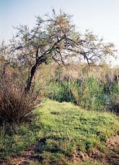 Bent tree (dkilim) Tags: river fuji minolta superia delta greece macedonia 200 thessaloniki xd5  kalochori      gallikos