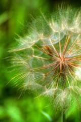 Summertime (Lynleigh Cooper) Tags: flower oklahoma nature beauty whimsy nikon dandelion upclose oklahomacity natureshot blowflower nikond90