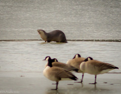 Otter hangin' out with Geese (Rick Smotherman) Tags: morning winter bird nature birds canon outdoors march morninglight geese pond cloudy wildlife feathers overcast 7d cloudysky buschwildlife canon300mmf4l missouribirds canon7d canon14teleconverter