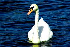 Swannagan* (Macgidtosh) Tags: bird water birds swan nikon wasser d70 nikond70 swans vgel schwan vogel schwne aclass naturesfinest wowiekazowie coolestphotographers